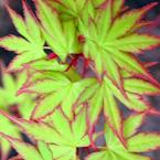 """Las Flores """"palmatum"""" darán un toque psicodélico al jardín de George"""