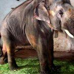 Paul McCartney pide la liberación de un elefante encadenado en La India